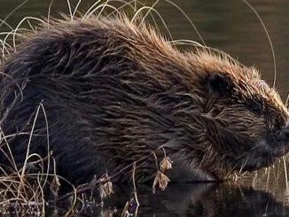 louisiana beavern bounty suspended