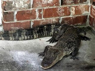 louisiana deputy moving gators
